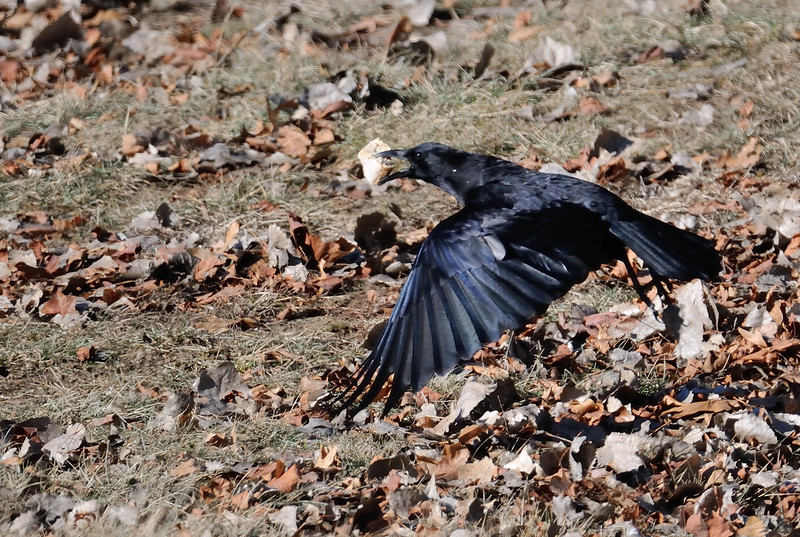 Crop of previous shot of a crow flying with what appears to be a bun left by a human.