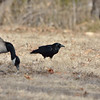 Crows at Shawnee Mission Park