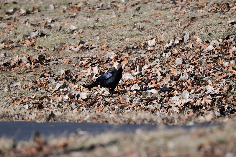 A crow finds a goodie. Shawnee Mission Park