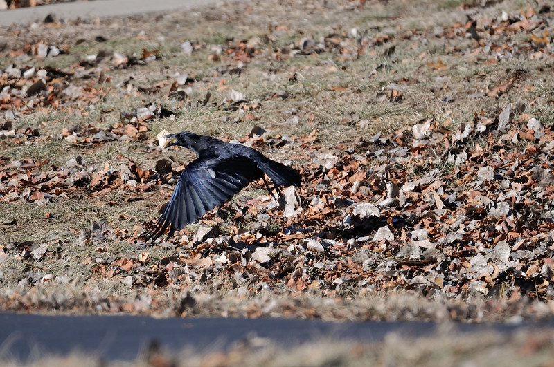 A crow flies with a goodie. Shawnee Mission Park