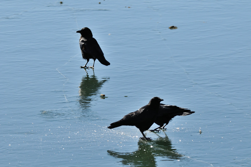 Crows on the ice  at Shawnee Mission Park. 1.9.2015. The temperature was 15 degrees.