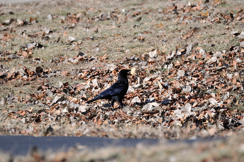 A crow finds a goodie.Shawnee Mission Park