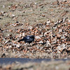 A crow finds a goodie. Shawnee Mission Park. 1.9.2015