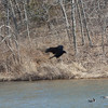 A crow flies between me and some geese at Shawnee Mission Park. 1.28.1015 on a warm 60 degree day.