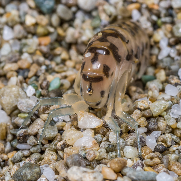 Sandhopper (Bellorchestia quoyana). Stafford Bay, South Westland.