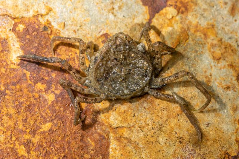 Estuarine pillbox crab (Halicarcinus whitei). <br /> Waikouaiti River estuary, Karitane, Otago.