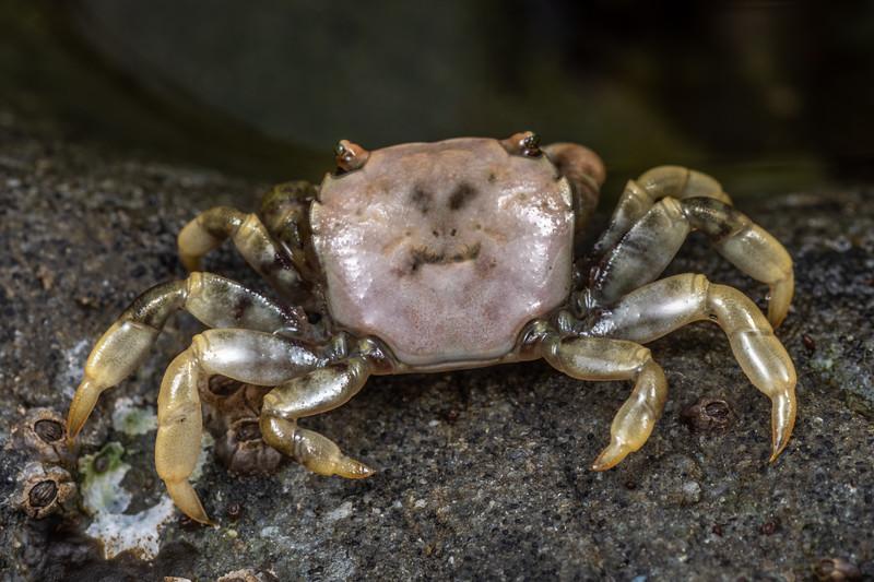 Purple shore crab (Hemigrapsus nudus). Palmer's Beach, Patricks Point State Park, CA, USA.