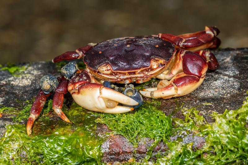 Common rock crab (Hemigrapsus sexdentatus).<br /> Waikouaiti River estuary, Karitane, Otago.