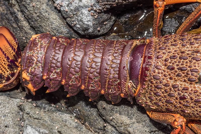 Red spiny rock lobster / kōura papatea (Jasus edwardsii). Green Point, Chatham Island.