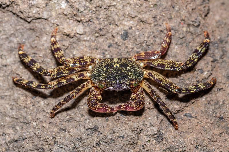Purple rock crab (Leptograpsus variegatus). Peach Cove, Whangarei Heads, Northland.
