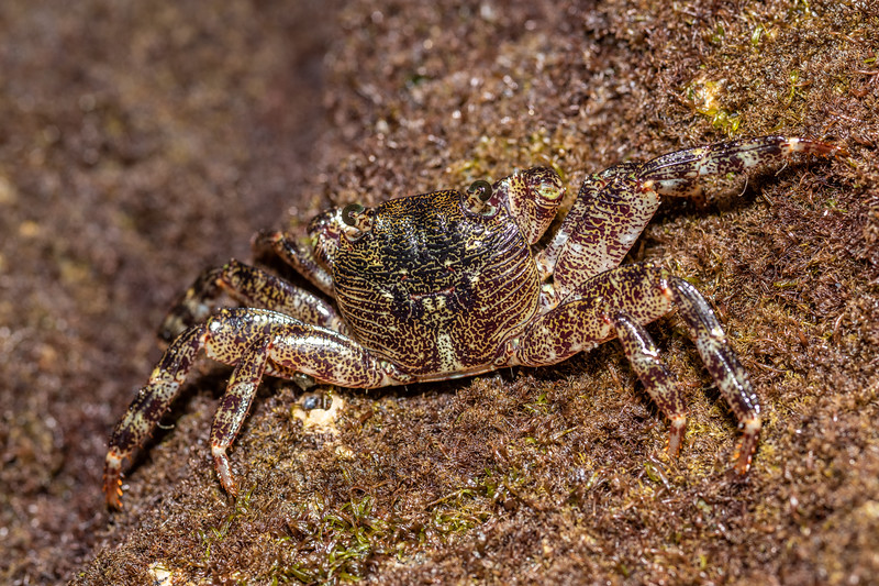 Purple rock crab (Leptograpsus variegatus). Peach Cove, Whangarei Heads, Northland.