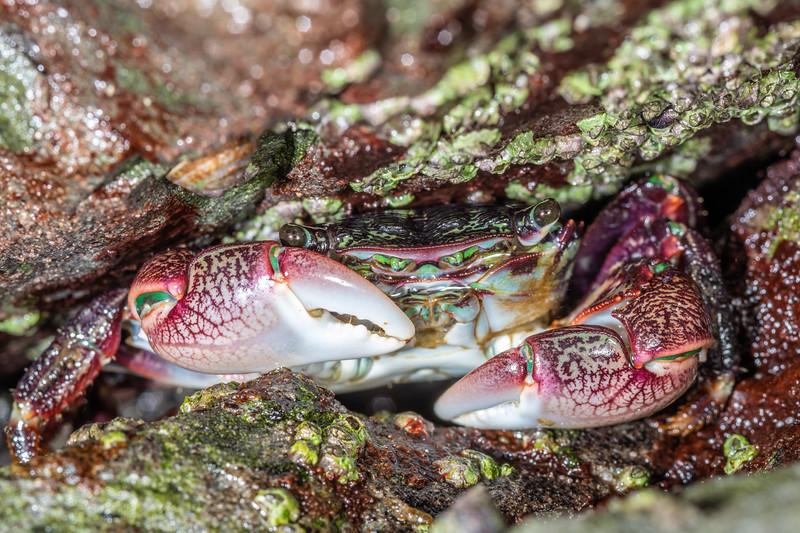 Striped shore crab (Pachygrapsus crassipes).<br /> Palmer's Beach, Patricks Point State Park, CA, USA.