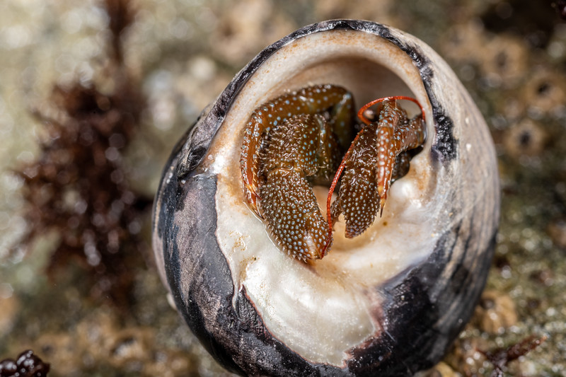 Grainy hermit crab (Pagurus granosimanus).<br /> Palmer's Beach, Patricks Point State Park, CA, USA.