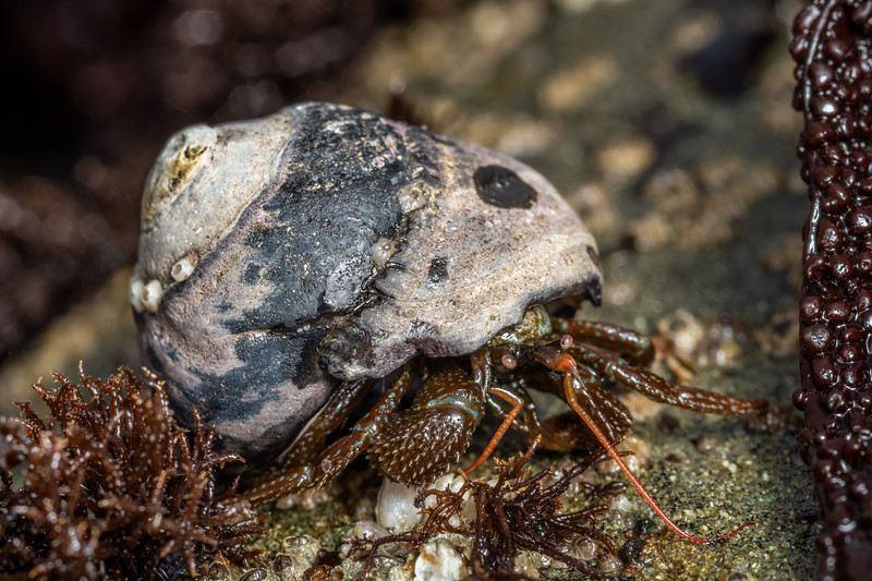 Grainy hermit crab (Pagurus granosimanus).<br /> Palmer's Beach, Patricks Point State Park, CA, USA.