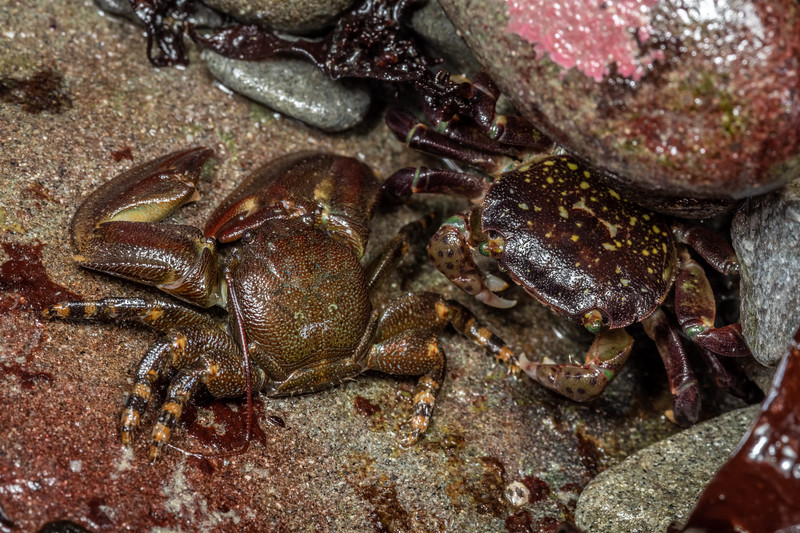 Flat porcelain crab (Petrolisthes cinctipes) and purple shore crab (Hemigrapsus nudus). Palmer's Beach, Patricks Point State Park, CA, USA.