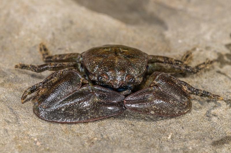 New Zealand half crab (Petrolisthes elongatus). Point Kean, Kaikōura.