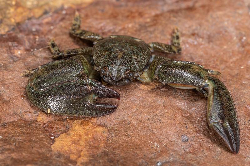 New Zealand half crab (Petrolisthes elongatus). Huriawa Peninsula, Karitane.