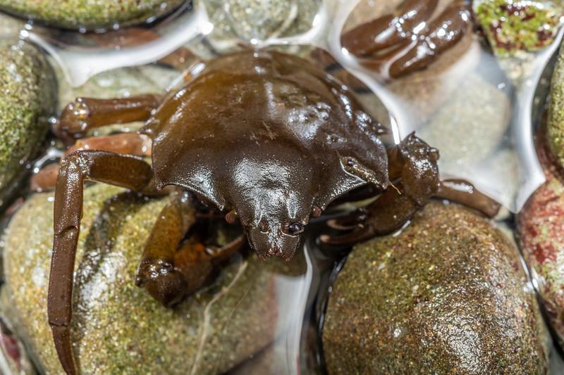 Northern kelp crab (Pugettia producta).<br /> Palmer's Beach, Patricks Point State Park, CA, USA.