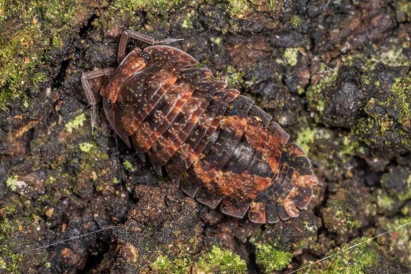 Isopod (Cubaris tarangensis). Awatiro Farm, Waitomo.