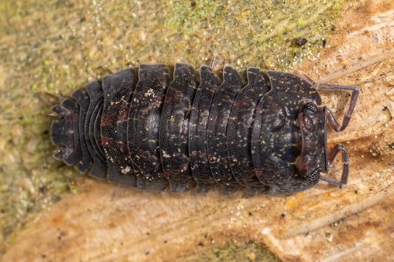 Isopod (Cubaris tarangensis). Marokopa Falls Track, Waikato.