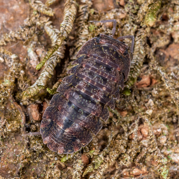 Isopod (Cubaris tarangensis). Tangihgua Forest Nature Walk, Whangarei, Northland.