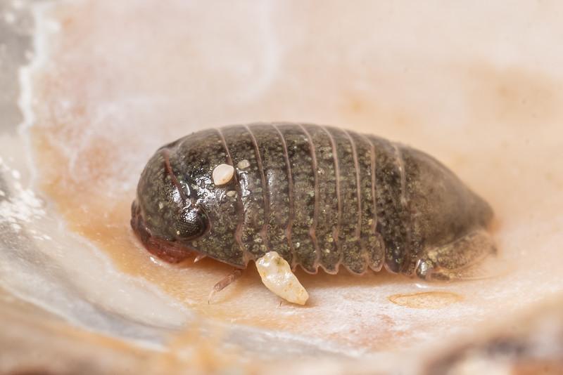 Isopod (Exosphaeroma spp.) in limpet (Cellana denticulata) shell. Point Kean, Kaikōura.