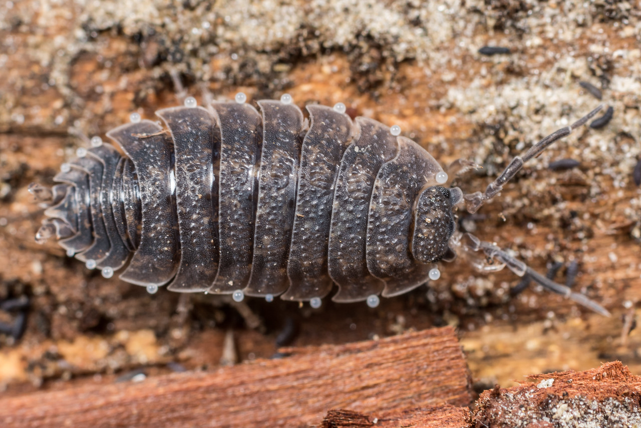 Common rough woodlouse (Porcellio scaber). Deep Stream, Otago.