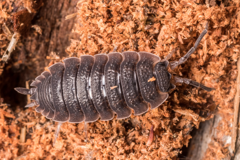 Common rough woodlouse (Porcellio scaber). Matukituki River mouth, Lake Wanaka.