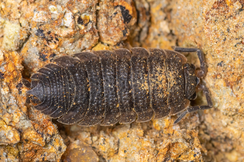 Common rough woodlouse (Porcellio scaber). Huriawa Peninsula, Karitane, Otago.