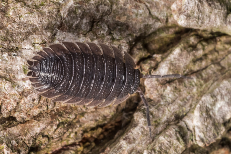 Common rough woodlouse (Porcellio scaber). Butchers Dam, Alexandra, Central Otago.