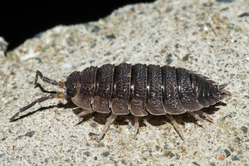 Common rough woodlouse (Porcellio scaber). Highcliff, Otago Peninsula.