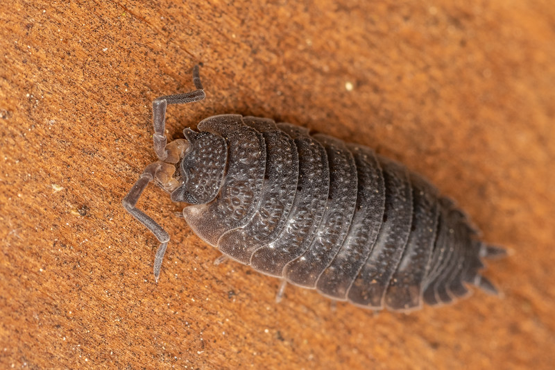 Common rough woodlouse (Porcellio scaber). Patricks Point, Humboldt County, California.