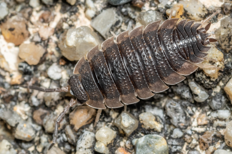 Common rough woodlouse (Porcellio scaber). Puysegur Point, Fiordland National Park.