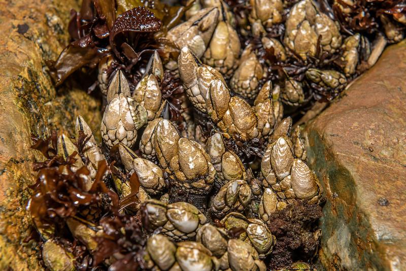 Gooseneck barnacle (Pollicipes polymerus). Palmer's Beach, Patricks Point State Park, CA, USA.