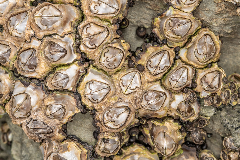 Brown barnacles (Chamaesipho brunnea). Point Kean, Kaikōura.