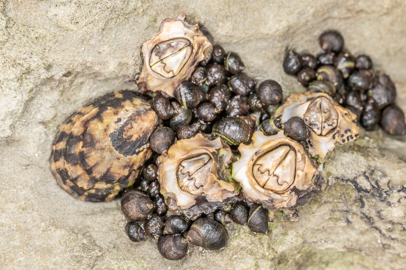 Brown barnacles (Chamaesipho brunnea), radiate limpet (Cellana radians) and brown periwinkle (Austrolittorina cincta). Point Kean, Kaikōura.