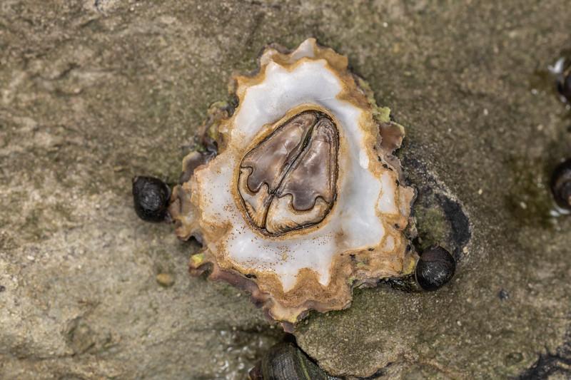 Brown barnacle (Chamaesipho brunnea). Point Kean, Kaikōura.