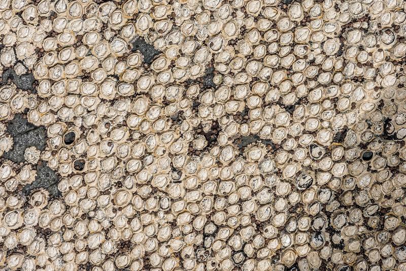 Brown barnacle (Chamaesipho brunnea). Green Point, Chatham Island.