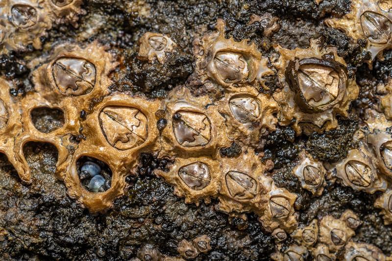 Brown barnacle (Chamaesipho brunnea). Peach Cove, Whangarei Heads, Northland.