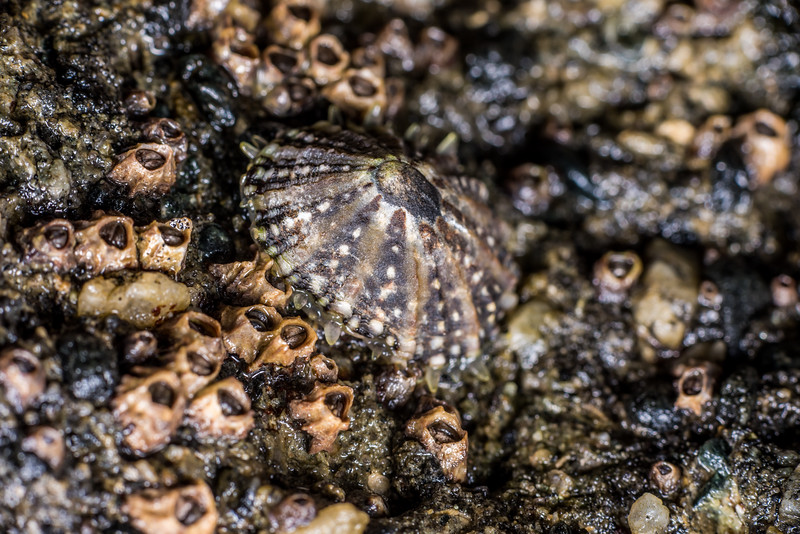 Ornate limpet (Cellana ornata) surrounded by column barnacles (Chamaesipho columna). Port Craig, Fiordland National Park.