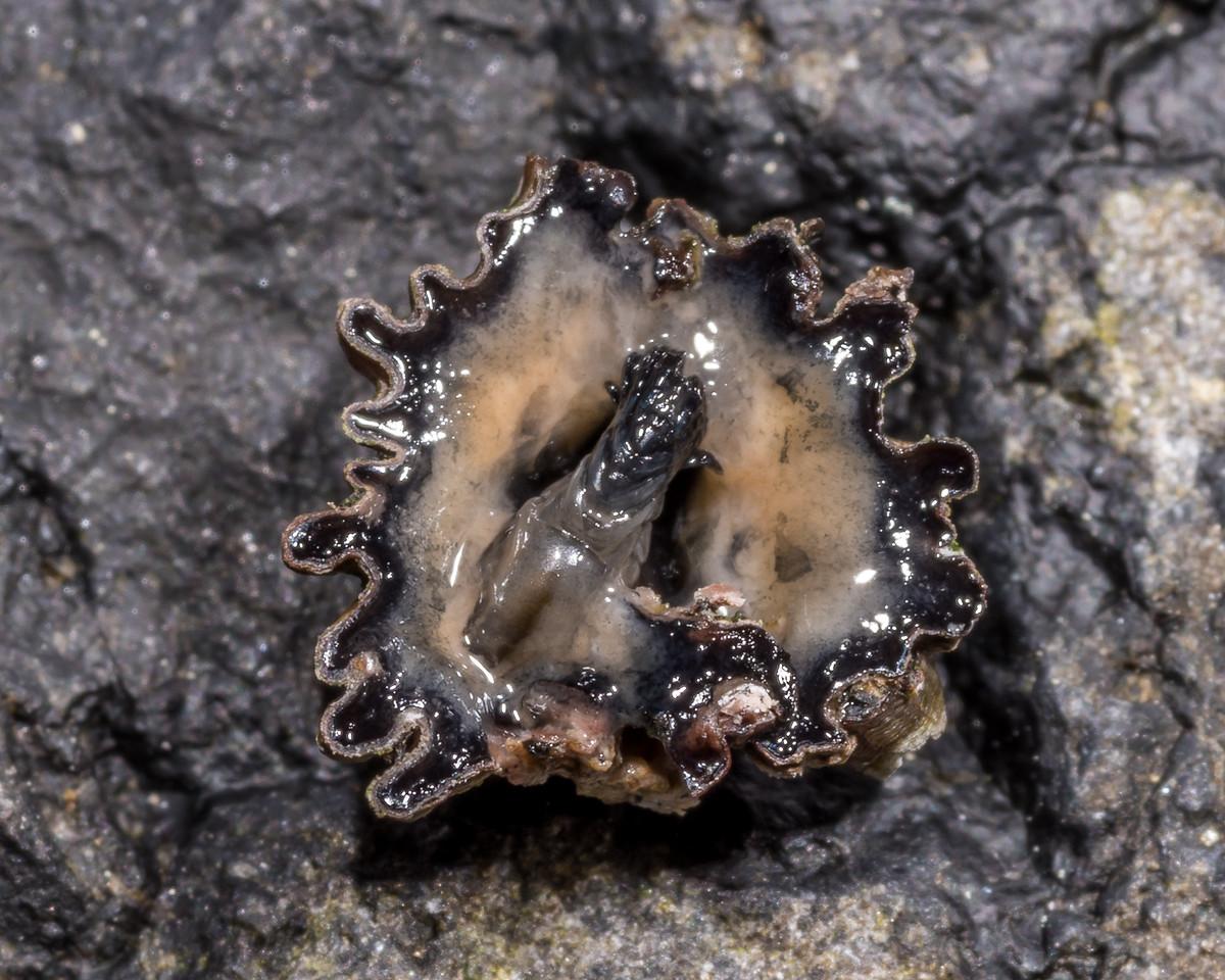 Column barnacle (Chamaesipho columna). Black Head, Dunedin.