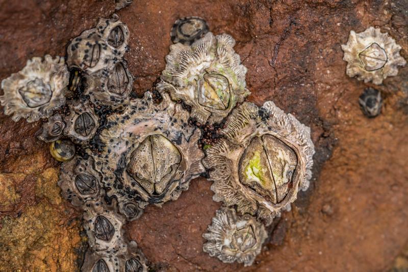 Barnacles (Epopella plicata). Huriawa Peninsula, Karitane.