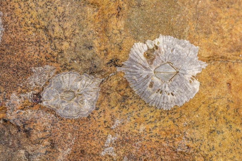 Barnacle (Tetraclitella depressa). Huriawa Peninsula, Karitane.