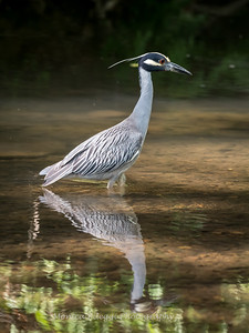 Yellow Crown Night Heron-19 June 2017-9837