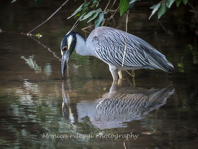 Yellow Crown Night Heron-19 June 2017-9809