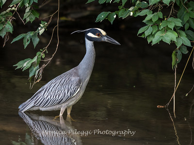 Yellow Crown Night Heron-19 June 2017-9818