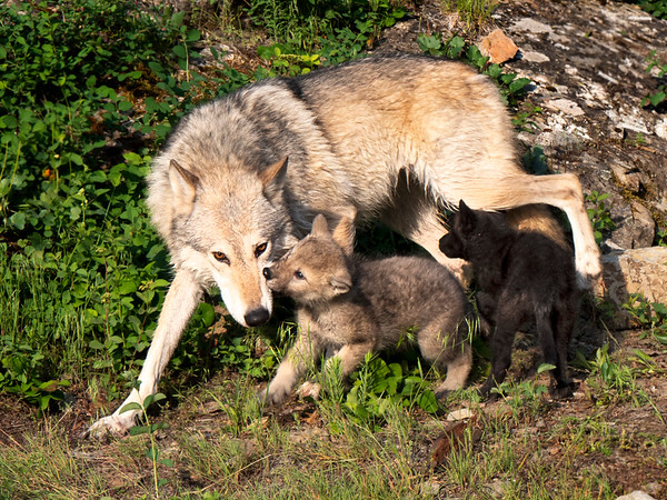 Grey Wolf with pups