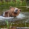 Grizzly enjoying his bath