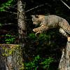 Bobcat jumping