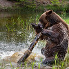 Grizzly playing with a log.
